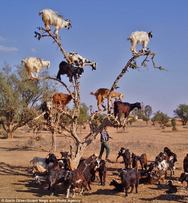 Matt Forney's a dick, so here are some goats in a tree.