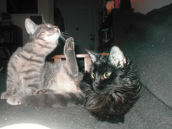 My cats in their earlier days, unaware of the internet fame that awaited them. (Greasy fur courtesy of eardrops that were supposed to have remained in the ears.)