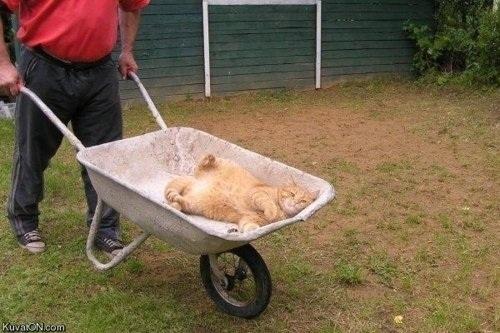 cat-wheelbarrow--large-msg-130411200017